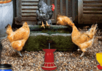 Poultry Farm Easter Escape